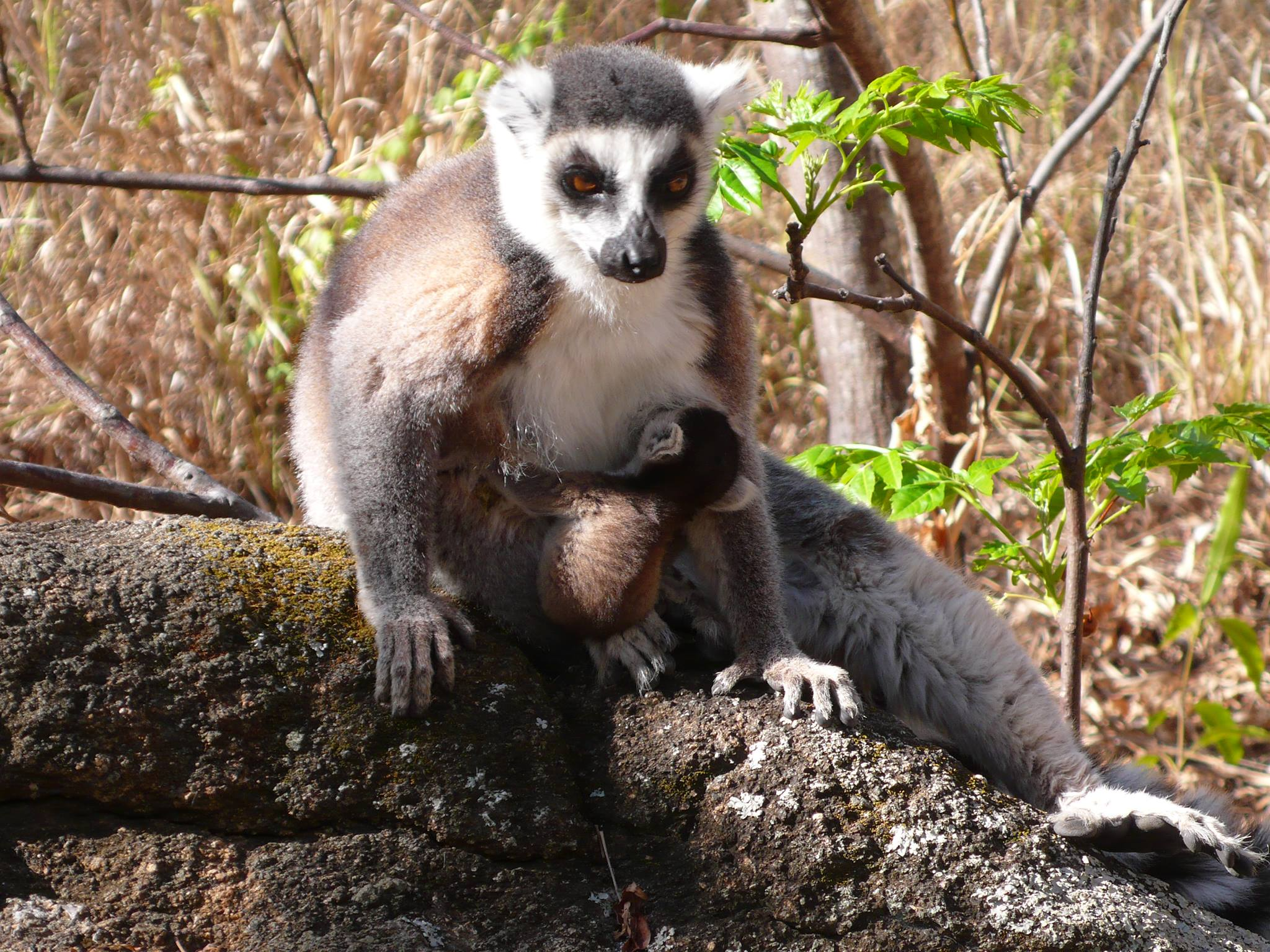 lemur of madagascar