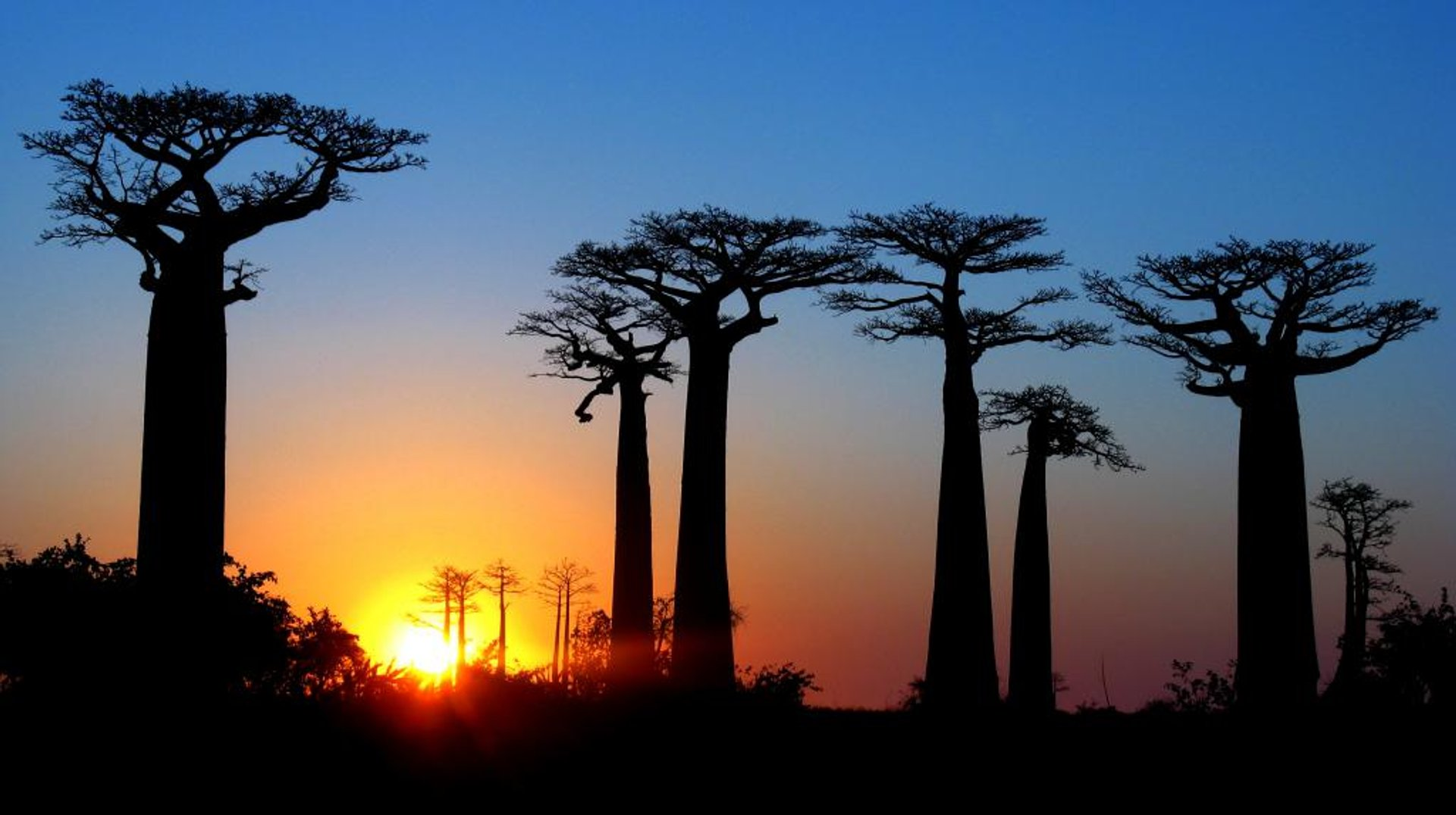 avenue of the baobabs or the baobab avenue tour madagascar